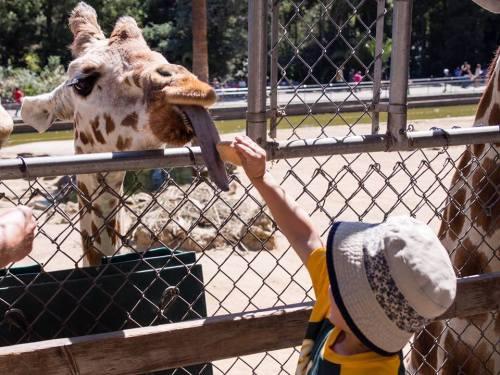giraffe-calvin
